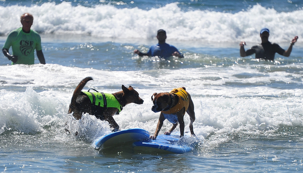 . Boards collide as dogs ride a wave while competing during the 5th Annual Surf Dog competition at Huntington Beach, California, on September 29, 2013.  AFP PHOTO/Frederic J. BROWN/AFP/Getty Images