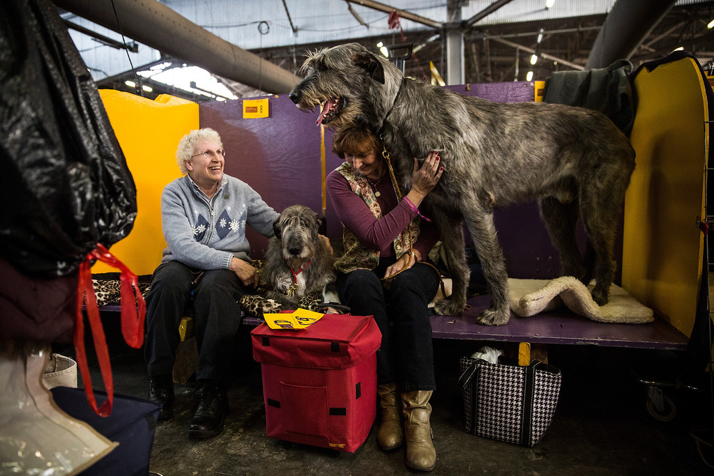 ". An Irish Wolfhound named ""Tynan\"" stands next to his owner, Donna Monahan, during the 138th annual Westminster Dog Show at the Piers 92/94 on February 10, 2014 in New York City. The annual dog show showcases the best dogs from around world for the next two days in New York.  (Photo by Andrew Burton/Getty Images)"