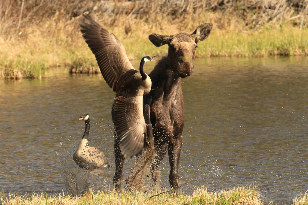 . A Canada Goose shows no fear in a confrontation with a moose that came too close to a nest on the shores of Sprague Lake in Rocky Mountain National Park, spring 2014.  (Robert Burns / Special to the Trail-Gazette)