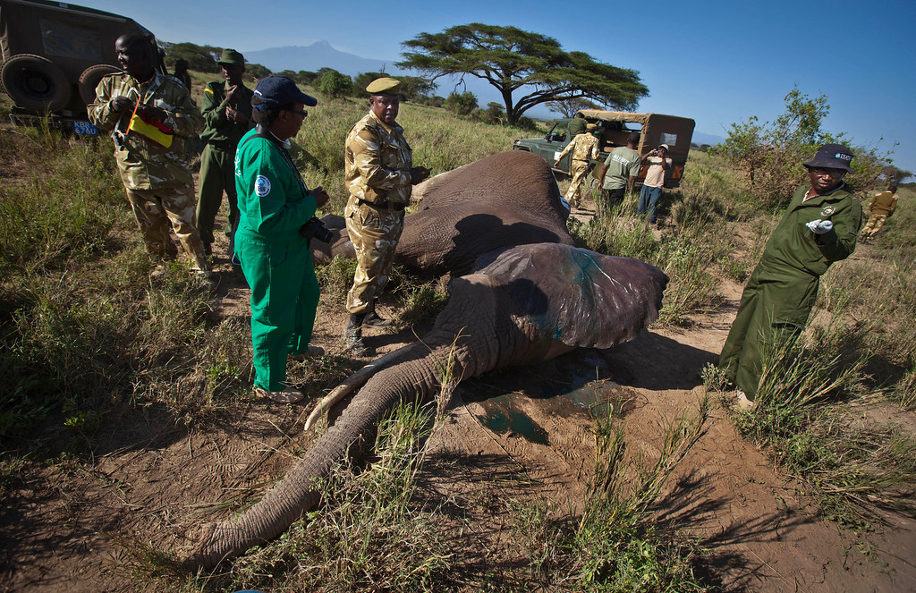 . In this Tuesday, Feb. 19, 2013 photo, a team from the Kenya Wildlife Service (KWS) and the International Fund for Animal Welfare (IFAW) fit a GPS-tracking collar onto a tranquilized 26-year-old male elephant, to monitor migration routes and to help prevent poaching, at the Kimana Wildlife Sanctuary next to Amboseli National Park in southern Kenya, near the border with Tanzania. (AP Photo/Ben Curtis)