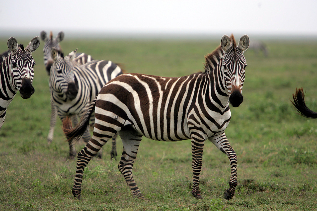 . Zebra in Ngorongoro Crater in Tanzania, Africa