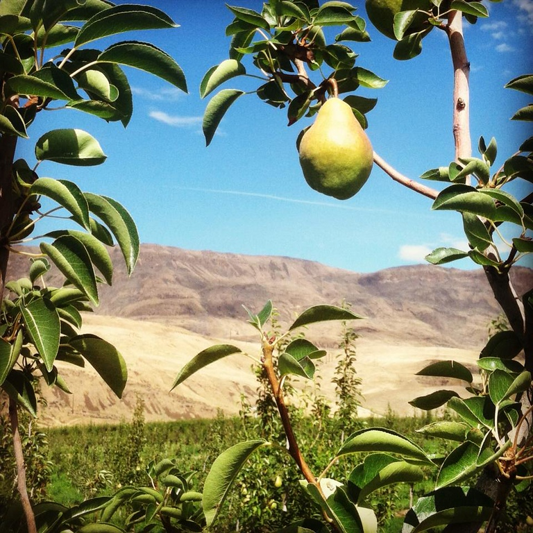 . A pear hangs on a branch at Snowdrift Cider\'s orchards in East Wenatchee, Washington. (Photo provided by Snowdrift Cider)