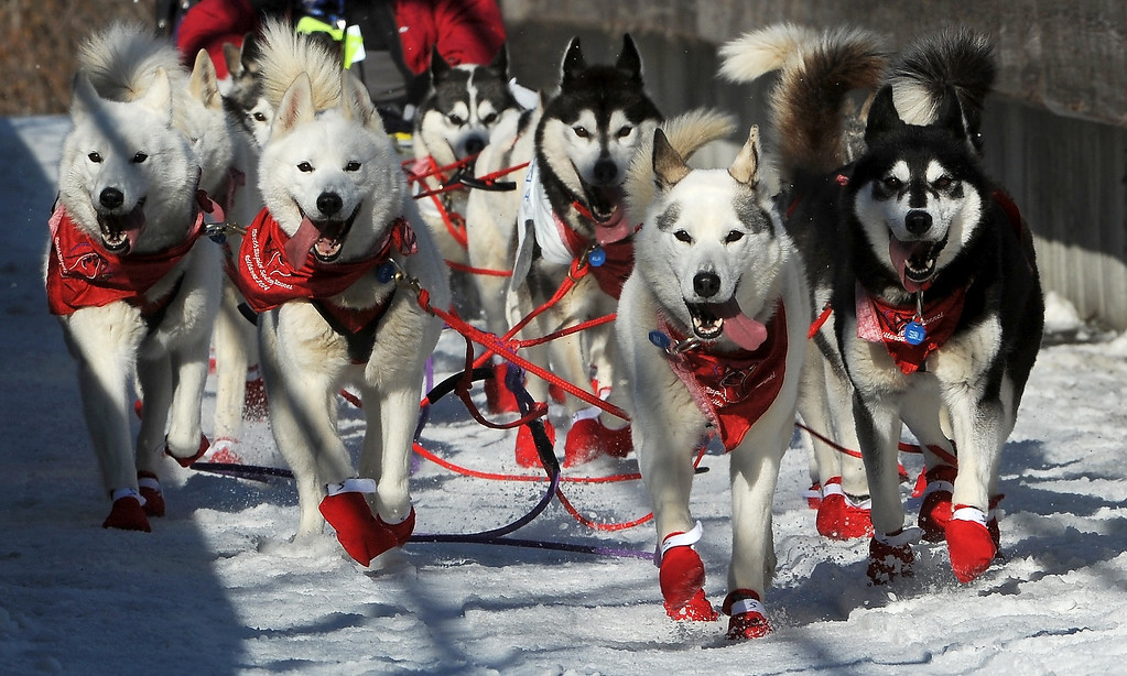 . The dogs of Canadian musher Karen Ramstead, from Perryval Alberta, are decked out in appropriate colors as they cross the bridge to Goose Lake during the ceremonial start for the 2014 Iditarod Trail Sled Dog Race on Saturday, March 1, 2014, in Anchorage, Alaska. (AP Photo/The Anchorage Daily News, Erik Hill)