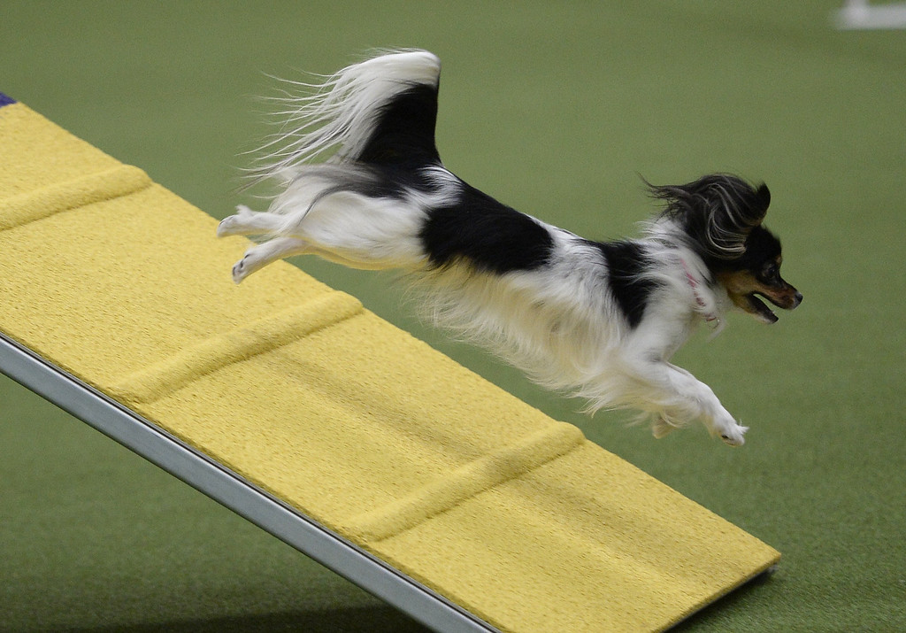 . A Papillon in the Agility Ring during the first-ever Masters Agility Championship on February 7, 2014 in New York at the 138th Annual Westminster Kennel Club Dog Show. Dogs entered in the agility trial will be on hand to demonstrate skills required to negotiate some of the challenging obstacles that they will need to negotiate. TIMOTHY A. CLARY/AFP/Getty Images