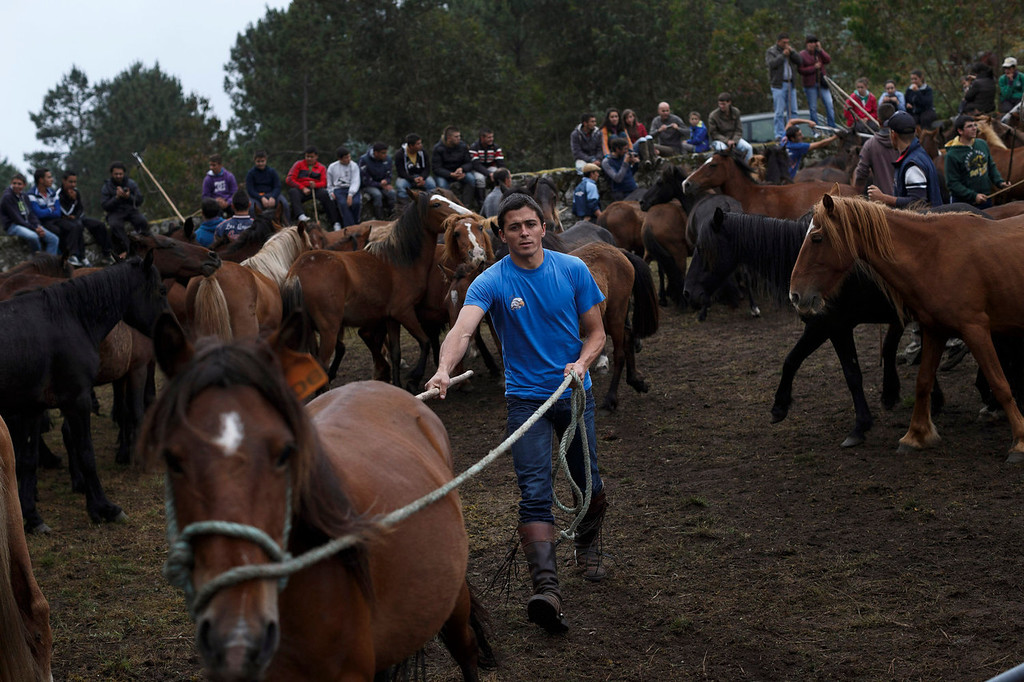 . A man takes part in the \'Rapa Das Bestas\' tradition in Mougas, northwestern Spain, Sunday, June 9, 2013. Rapa das bestas or Shearing of the Beasts is an ancient tradition dating from the 15th century and consists of gathering the wild horses in the mountains, placing them in a \'curro\' or corral, shaving them and branding them before releasing them in the mountains until next year. (AP Photo/Daniel Ochoa de Olza)