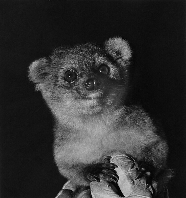 . In this handout photo provided by Smithsonian, an olinguito, a new species of Carnivore which has been newly discovered, is seen in an undated photo. The olinguito (Bassaricyon neblina) had been mistakenly identified for more than 100 years and is also the first carnivore species to be discovered in the American continents in 35 years.  (Photo by Poglayen-Neuwall for Smithsonian via Getty Images)