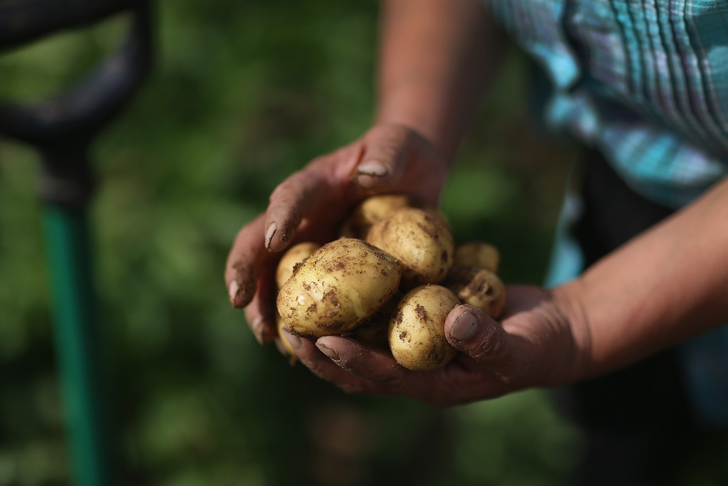 . Arnaq Egede holds some of the potatoes she uprooted on her family\'s farm on July 31, 2013 in Qaqortoq, Greenland. The farm, the largest in Greenland, has seen an extended crop growing season due to climate change.  (Photo by Joe Raedle/Getty Images)