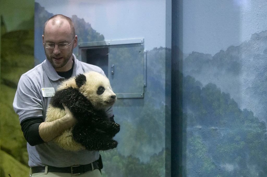 . Animal keeper Marty Dearie carries Bao Bao, the four and a half month old giant panda cub, as she makes her public debut at an indoor habitat at the National Zoo in Washington, Monday, Jan. 6, 2014. Bao Bao, who now weighs 16.9 pounds (7.65 kilograms), was born to the zoo\'s female giant panda Mei Xiang and male giant panda Tian Tian. (AP Photo/Charles Dharapak)