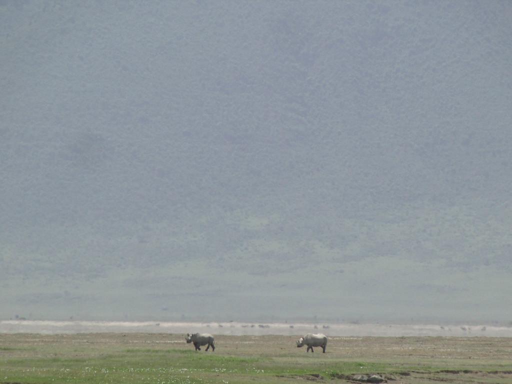 . A rare sight of rhinos through the haze of heat in Masai warriors in their village near Ngorongoro Crater in Tanzania, Africa.
