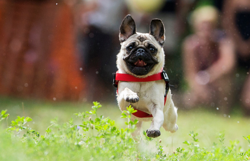 ". Pug dog Lotte races during a pup dog meeting in Berlin, Germany, Saturday, Aug. 3, 2013. Some 40 pup dogs and their owners met in Berlin for the ""4th International Pup Dog Meeting\"" including a dog race. (AP Photo/Gero Breloer)"