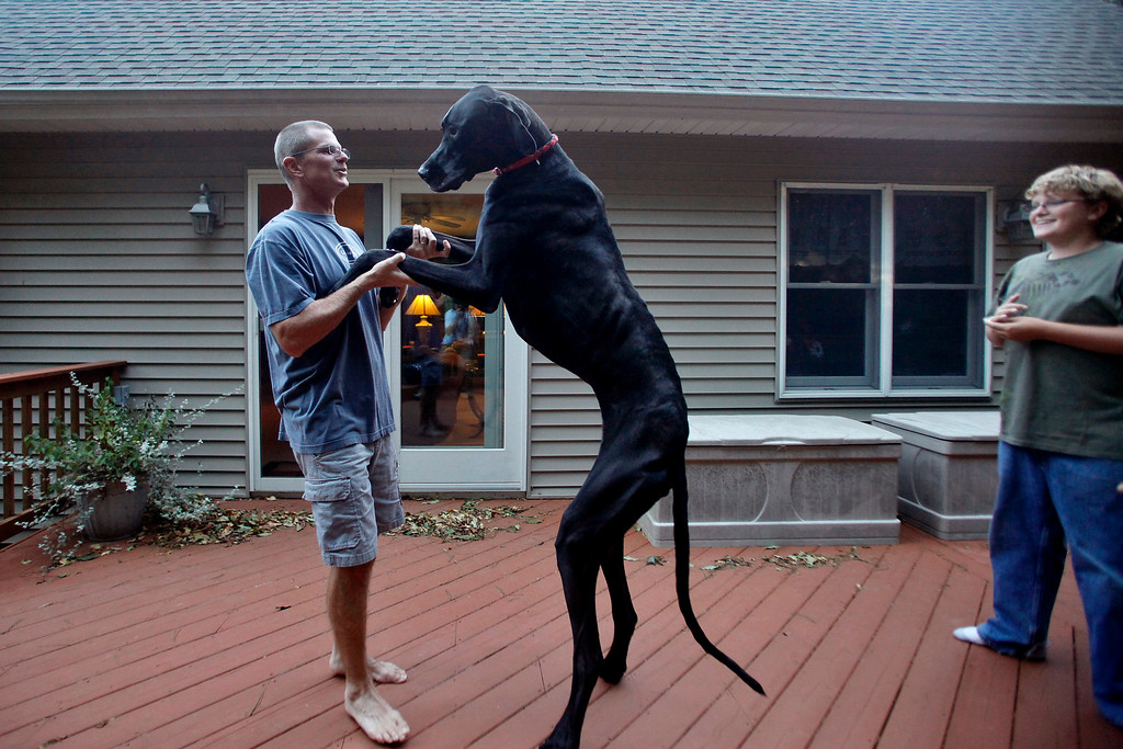 . In this photo taken on Sept. 9, 2010, Kevin Doorlag plays with his Great Dane Zeus as Nick Doorlag, right, watches in Ostego, Mich. Zeus, who held the title of world\'s tallest dog, died last week from old age, just two months short of his sixth birthday. Zeus was 44 inches tall at the shoulder and 7-feet, 4-inches on his hind legs. (AP Photo/Kalamazoo Gazette-MLive Media Group, Jonathon Gruenke)