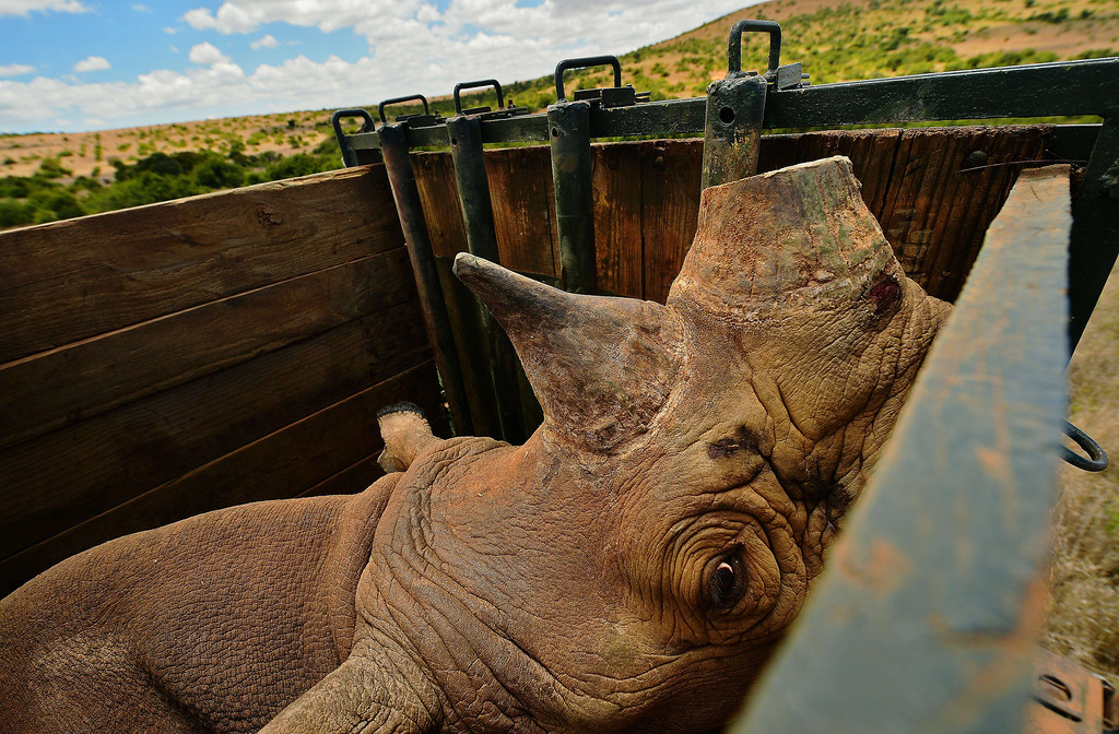 . A captured wild male black rhino named Sero looks out from its crate at Lewa conservancy on August 26, 2013. Eleven of Lewa\'s total 73 endangered black rhinos are being relocated to neighboring Borana conservancy to afford them more space. Borana currently has no rhino population and is hoping to help increase their numbers. The horn of each relocated rhino is cut and a tracking device is fitted to monitor its movements and to help combat poaching. Lewa has suffered severe poaching in the past. Illegally poached rhino horn is sold for large sums as an ingredient in some traditional Chinese medicine.  CARL DE SOUZA/AFP/Getty Images