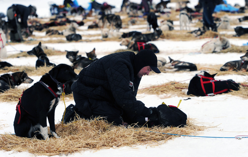 . Ken Anderson puts booties on a lead dog, named Regret, at the Finger Lake checkpoint in Alaska during the Iditarod Trail Sled Dog Race on Monday, March 4, 2013. (AP Photo/The Anchorage Daily News, Bill Roth)