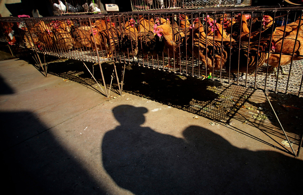 . A vender stands near chicken cages at a chicken whole sale market on Tuesday April 2, 2013 in Shanghai, China. China\'s financial capital, Shanghai, on Tuesday activated an emergency response plan following the recent deaths of two men from a lesser-known strain of bird flu. (AP Photo)