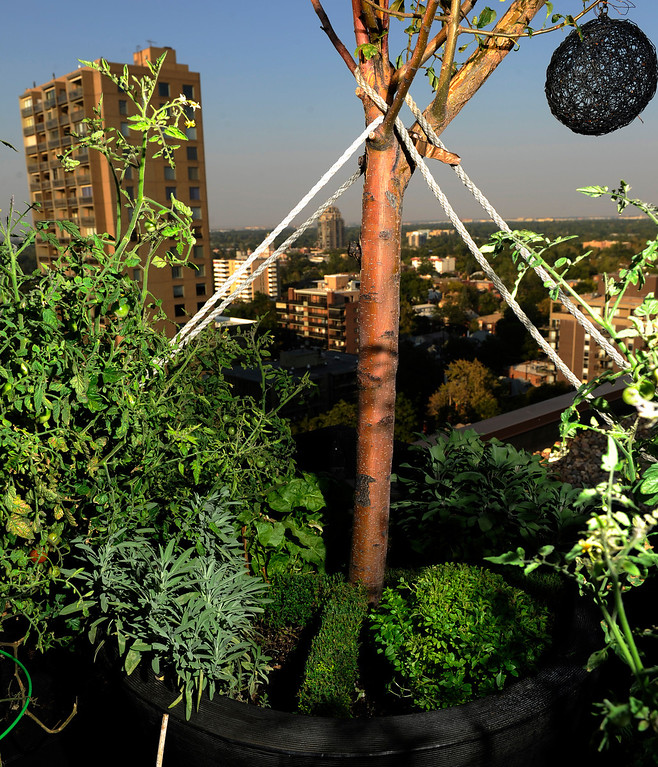 . An apple tree, secured with cables, grows on Trimpa\'s rooftop with sage, thyme and micro-basil at its base. (Cyrus McCrimmon, The Denver Post)