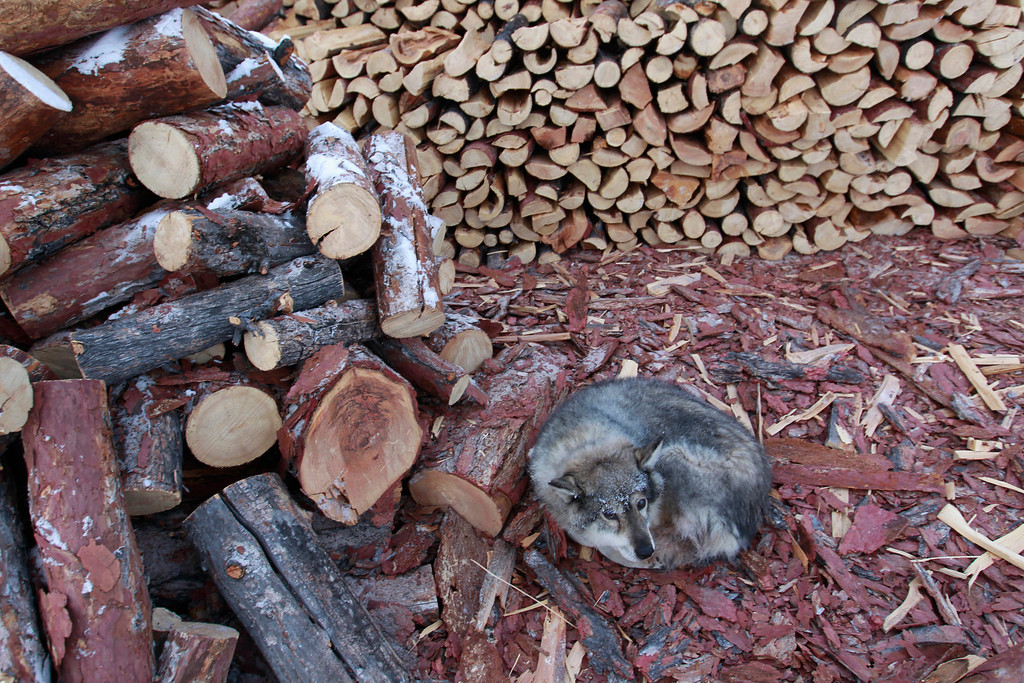 . A dog lies on wood shavings in the village of Tomtor in the Oymyakon valley in the Republic of Sakha, northeast Russia, January 24, 2013. The coldest temperatures in the northern hemisphere have been recorded in Sakha, the location of the Oymyakon valley, where according to the United Kingdom Met Office a temperature of -67.8 degrees Celsius (-90 degrees Fahrenheit) was registered in 1933. Yet despite the harsh climate, people live in the valley, and the area is equipped with schools, a post office, a bank, and even an airport runway (albeit open only in the summer).    Picture taken January 24, 2013.    REUTERS/Maxim Shemetov