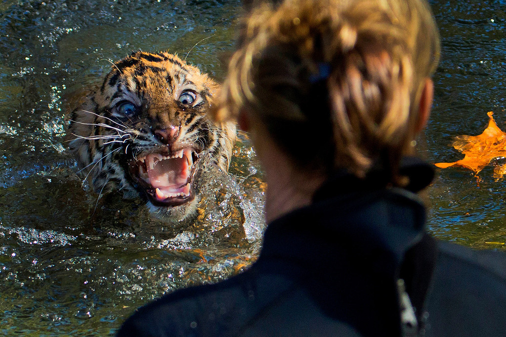 ". A three-month-old Sumatran tiger cub named ""Bandar\"" reacts after being dunked in the tiger exhibit moat for a swimming test at the National Zoo in Washington, Wednesday, Nov. 6, 2013. All cubs born at the zoo must take a swim test before being allowed to roam in the exhibit. Bandar passed his test. (AP Photo/Manuel Balce Ceneta, File)"
