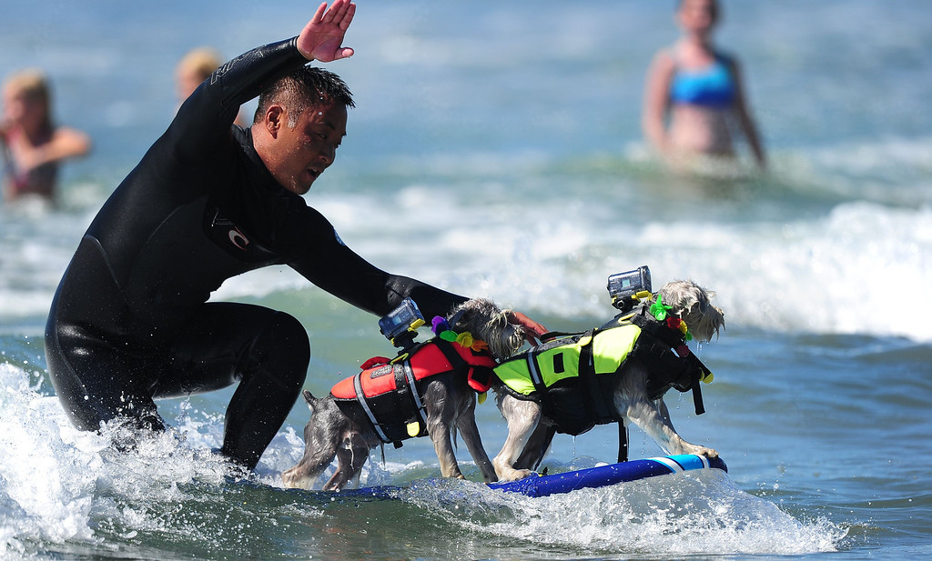 . A surfer rides a wave with his two dogs while competing during the 5th Annual Surf Dog competition at Huntington Beach, California, on September 29, 2013.  AFP PHOTO/Frederic J. BROWN/AFP/Getty Images