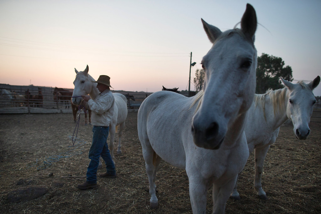 . Israeli cowboy Yechiel Alon begins his day at dawn in the Merom Golan ranch on November 14, 2013 in the Israeli-annexed Golan Heights. Israeli cowboys have been growing beef cattle in ranches on the Golan Heights disputed strategic volcanic plateau for over 30 years, Land which is also used by the Israeli army as live-fire training zones. The disputed plateau was captured by Israel from the Syrians in the 1967 Six Day War and in 1981 the Jewish state annexed the territory.   (Photo by Uriel Sinai/Getty Images)