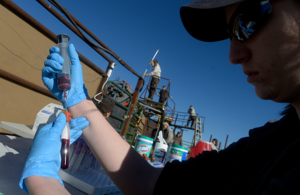 . Shandra Long process blood samples during the annual bison  roundup at the Rocky Mountain Arsenal National Wildlife Refuge in Commerce City, CO December 17, 2013. (Photo By Craig F. Walker / The Denver Post)