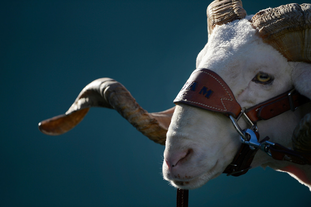 . �Cam the Ram� at Hughes Stadium for the game against Air Force Saturday afternoon, November 30, 2013. Rams won 58-13. (Photo By Andy Cross/The Denver Post)