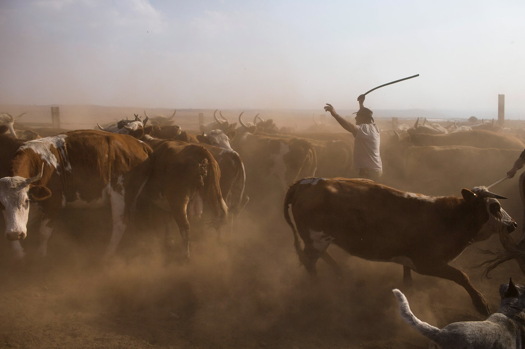 . Israeli cowboy Wafik Ajamy drives his herd into a corral to receive vaccines at the Merom Golan ranch on November 14, 2013 in the Israeli-annexed Golan Heights. Israeli cowboys have been growing beef cattle in ranches on the Golan Heights disputed strategic volcanic plateau for over 30 years, Land which is also used by the Israeli army as live-fire training zones. The disputed plateau was captured by Israel from the Syrians in the 1967 Six Day War and in 1981 the Jewish state annexed the territory.   (Photo by Uriel Sinai/Getty Images)