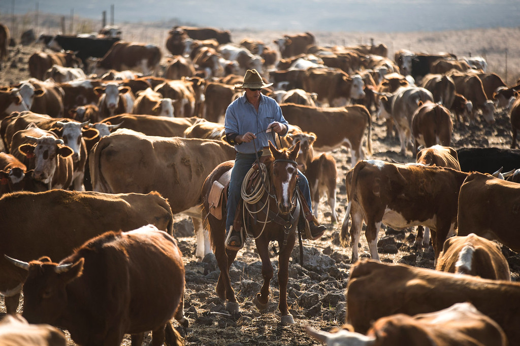 . Israeli cowboy Yechiel Alon rids his horse after he finished moving his herd, at the Merom Golan ranch on November 14, 2013 in the Israeli-annexed Golan Heights. Israeli cowboys have been growing beef cattle in ranches on the Golan Heights disputed strategic volcanic plateau for over 30 years, Land which is also used by the Israeli army as live-fire training zones. The disputed plateau was captured by Israel from the Syrians in the 1967 Six Day War and in 1981 the Jewish state annexed the territory.   (Photo by Uriel Sinai/Getty Images)