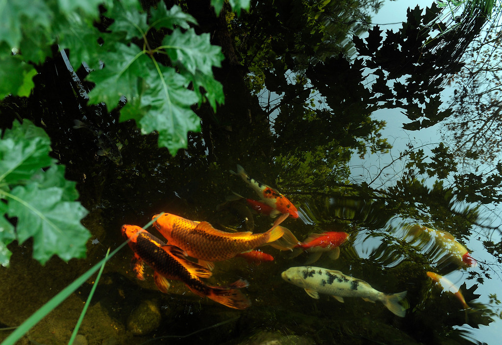 . Koi swim under the leaves of an oak tree in one of the Peters-Combs\' ponds. She has to net the leaves out of her ponds in fall, but the oaks help shade the ponds and screen the fish from predator birds. (Cyrus McCrimmon, The Denver Post)