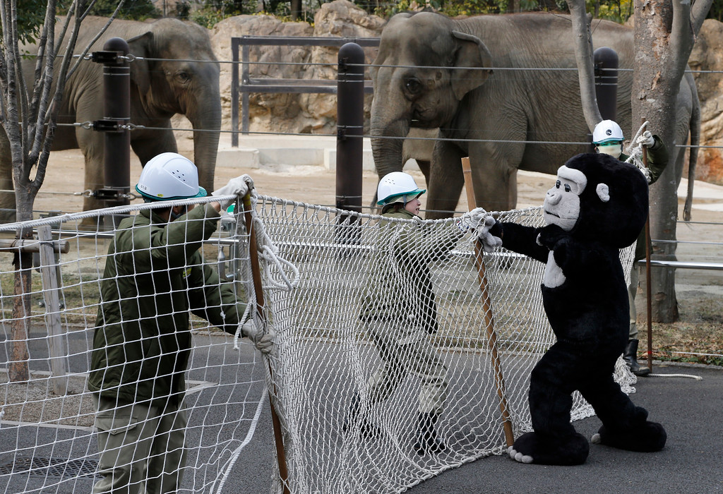 . Employees at Ueno Zoo uses nets to capture a mock gorilla during an emergency drill in Tokyo, Thursday, Feb. 6, 2014. Ueno Zoo conducted the drill in scenario when a gorilla escapes its cage. (AP Photo/Shizuo Kambayashi)