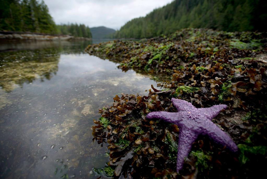 . A purple sea star is seen in Meyers Passage near Princess Royal Island, B.C., on Sept, 20, 2013.  (AP Photo/The Canadian Press, Jonathan Hayward)