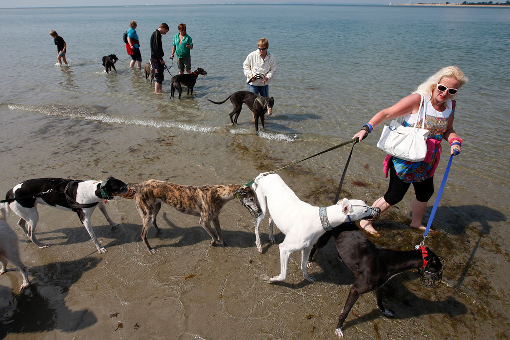 . Paula Boswell guides Gabby (R) Bobby and Connie during an annual trip to the beach with owners and volunteers of retired racing greyhounds, in West Wittering, West Sussex June 11, 2011. Each year, only around 8,000 dogs make the grade to become racing dogs. An equal number retire. The industry-funded Retired Greyhound Trust claims that their 72 adoption branches find homes for roughly half that number. Picture taken June 11, 2011.  REUTERS/Chris Helgren