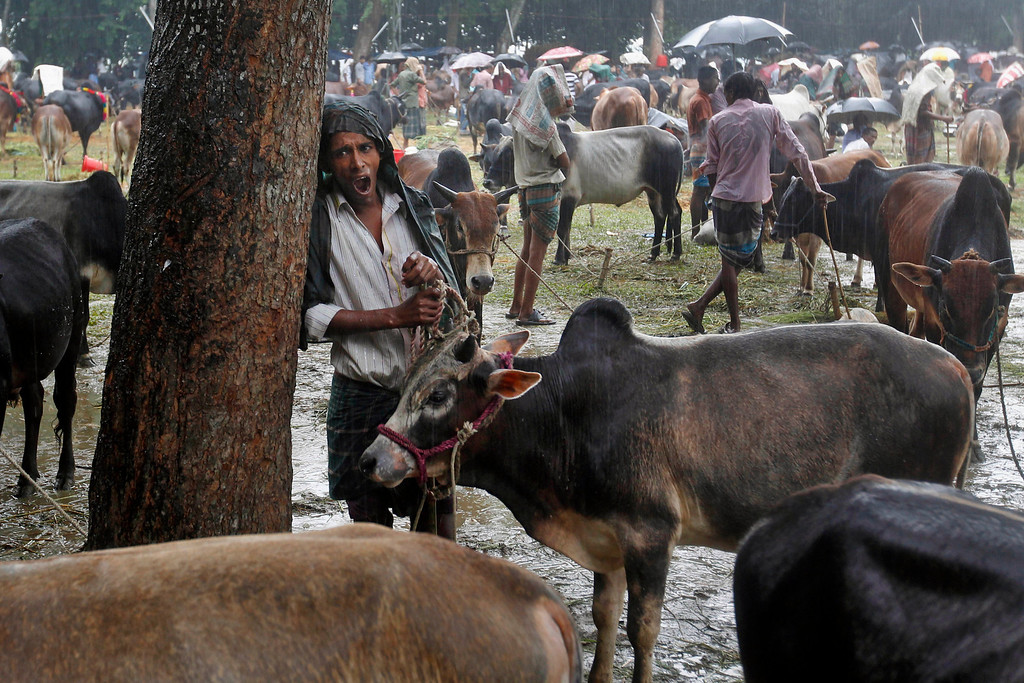 . A Bangladeshi man yawns as he stands with his cattle at a market ahead of Eid al-Adha festival in Mymensingh, on the outskirts of Dhaka, Bangladesh, Tuesday, Oct. 15, 2013.  (AP Photo/A.M. Ahad)