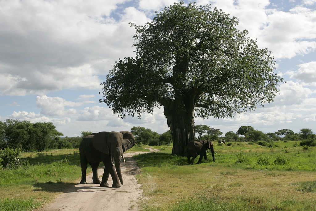 . A young bull elephant cross the road in front of a Land Cruisers on a Safari tour of Tarangire National Park, Tanzania, Africa.