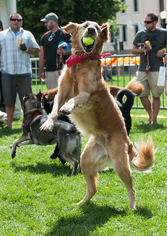 . Marley, a golden retriever, catches a tennis ball inside a leash-free area at Woof Fest! in downtown Denver, Colorado, Sunday, August 17, 2014. The free festival included two music stages, food trucks, and space for pets and their owners to play. ((Photo By Brenden Neville/Special to The Denver Post))