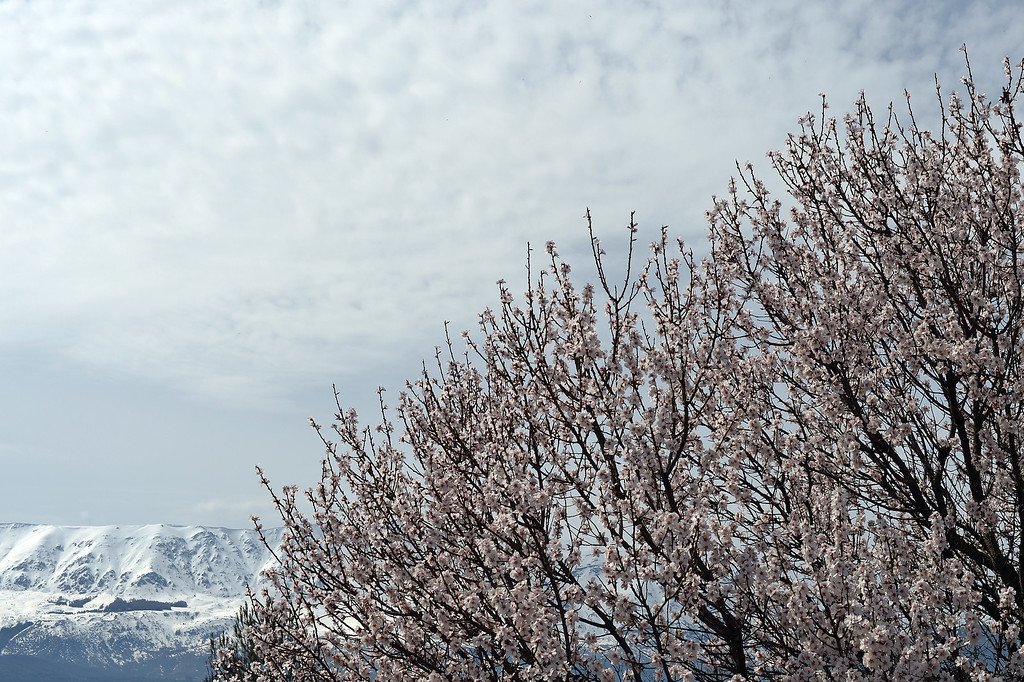 . A tree is blooming near the snowy mountains close to L\'Aquila, the regional capital of Abruzzo. AFP PHOTO / GABRIEL BOUYSGABRIEL BOUYS/AFP/Getty Images