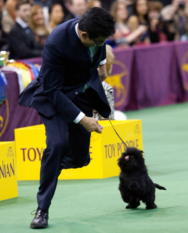 . Handler Ernesto Lara runs with Banana Joe, an Affenpinscher, after winning the Toy Group during competition at the 137th Westminster Kennel Club Dog Show at Madison Square Garden in New York, February 11, 2013. Banana Joe will advance to the Best in Show competition on February 12.  REUTERS/Mike Segar