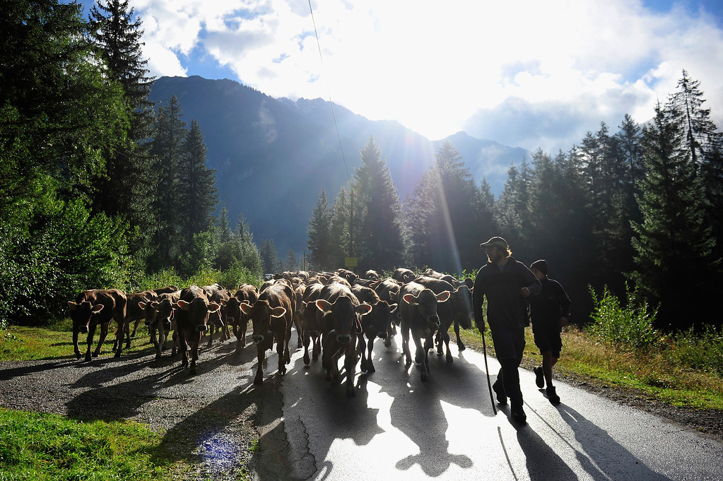 . Alpine cattle herders escort cows down into the valley during the annual Viehscheid cattle drive on September 11, 2013 near Bad Hindelang, Germany.   (Photo by Lennart Preiss/Getty Images)