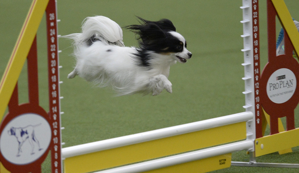 . A Papillion in the Agility Ring during the first-ever Masters Agility Championship on February 7, 2014 in New York at the 138th Annual Westminster Kennel Club Dog Show. Dogs entered in the agility trial will be on hand to demonstrate skills required to negotiate some of the challenging obstacles that they will need to negotiate. TIMOTHY A. CLARY/AFP/Getty Images