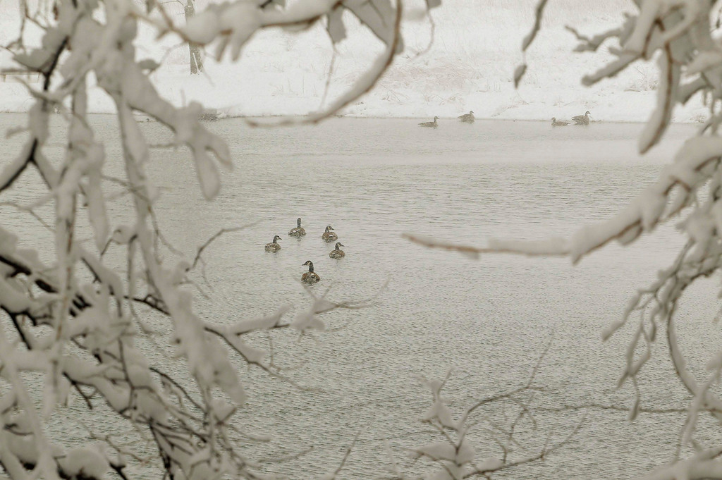 ". Canada Geese swim in a pond during a massive blizzard near Winchester, Virginia, west of Washington, March 6, 2013.  Jokingly referred to as ""snowquestration\"" in a nod to the federal budget crunch, the wintry weather prompted storm warnings for much of the Ohio River Valley and the mid-Atlantic states and as far south as Georgia as the storm moved east, the National Weather Service said.  REUTERS/Gary Cameron"