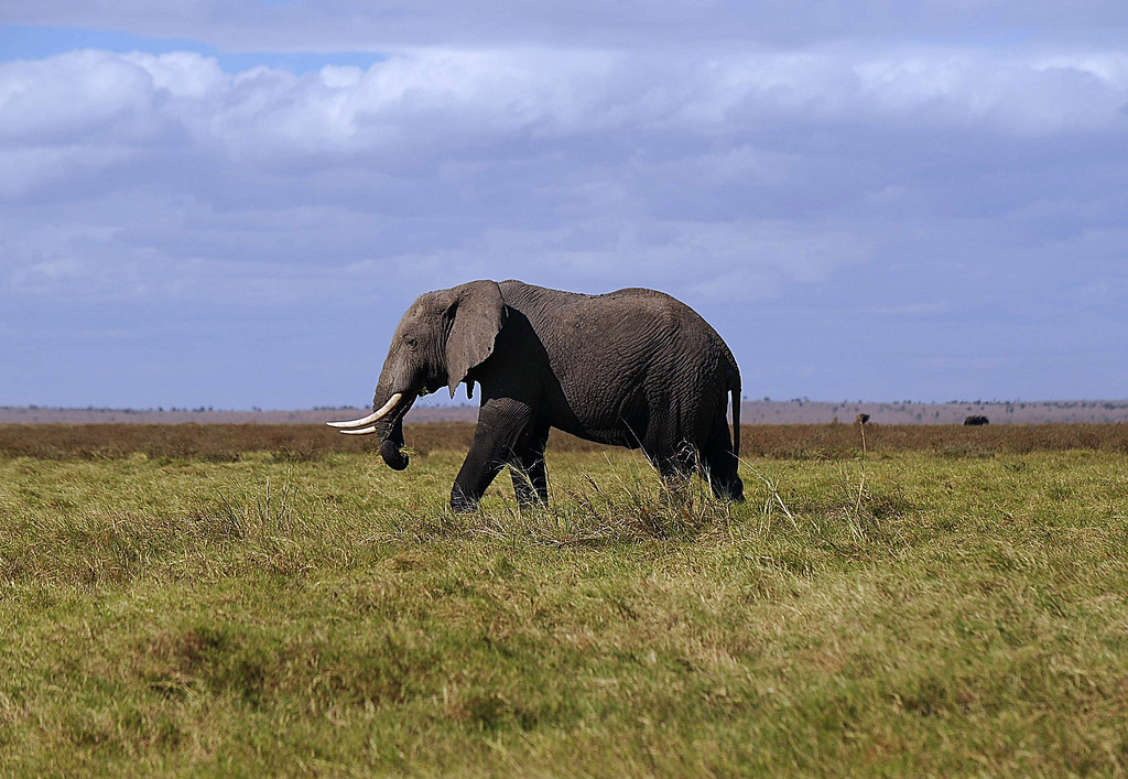 . An elephant walks on October 7, 2013 at Amboseli National Park, approximately 220 kms southeast of Nairobi. Kenyan and Tanzanian governments started on October 7 a joint aerial count of elephants and other large mammals in the shared ecosystem of the Amboseli-West Kilimanjaro and Natron- Magadi landscape. The one-week exercise, cost 104,000 US dollars, is a collaboration between the two countries and the Kenya  Wildlife Service (KWS), Tanzania Wildlife Research Institute (TAWIRI) and the African Wildlife Foundation (AWF) among others. TONY KARUMBA/AFP/Getty Images