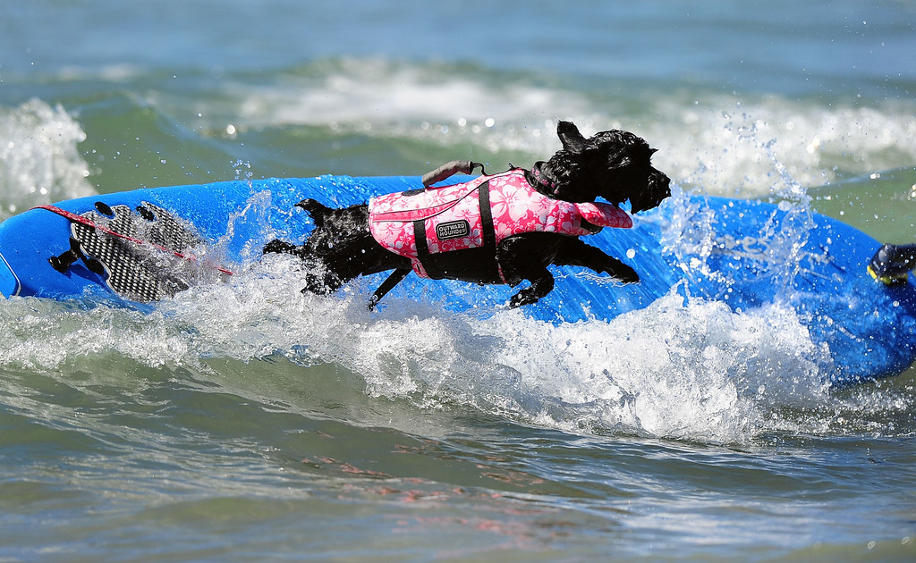 . A dog leaps off the board while competing during the 5th Annual Surf Dog competition at Huntington Beach, California, on September 29, 2013.  AFP PHOTO/Frederic J. BROWN/AFP/Getty Images
