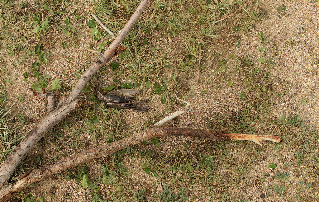 . A lager storm that moved through Hugo over night killed a bird, June 5, 2014. (Photo by RJ Sangosti/The Denver Post)