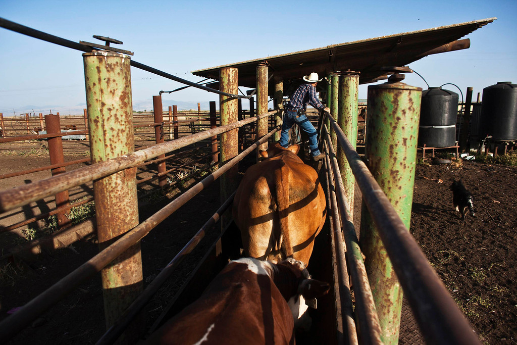 . Alon, an Israeli cowboy, tends cattle on a ranch just outside Moshav Yonatan, a collective farming community, sabout 2 km (1 mile) south of the ceasefire line between Israel and Syria in the Golan Heights May 21, 2013. REUTERS/Nir Elias