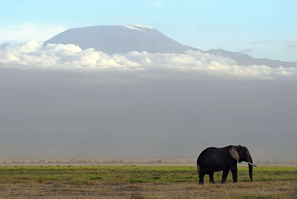 . An elephant grazes on October 7, 2013 at Amboseli National Park, approximately 220 kms southeast of Nairobi. Kenyan and Tanzanian governments started on October 7 a joint aerial count of elephants and other large mammals in the shared ecosystem of the Amboseli-West Kilimanjaro and Natron- Magadi landscape. The one-week exercise, cost 104,000 US dollars, is a collaboration between the two countries and the Kenya  Wildlife Service (KWS), Tanzania Wildlife Research Institute (TAWIRI) and the African Wildlife Foundation (AWF) among others. TONY KARUMBA/AFP/Getty Images