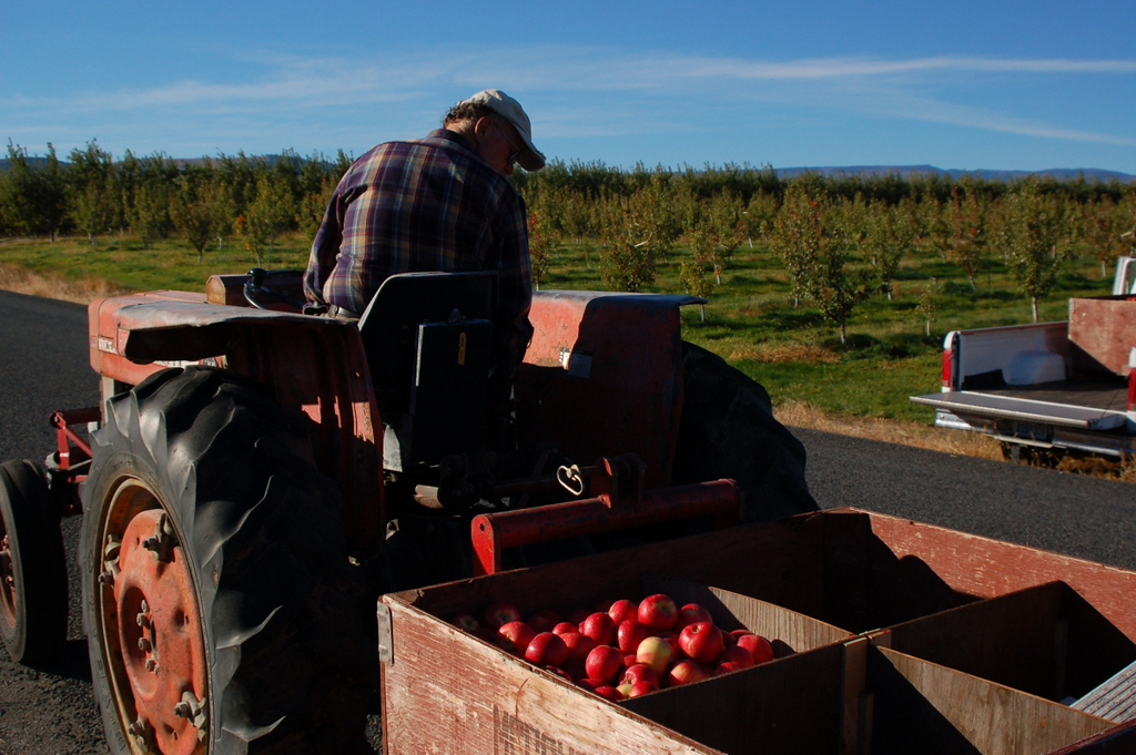 . Apples at Snowdrift Cider\'s orchards in East Wenatchee, Washington.  (Photo provided by Snowdrift Cider)