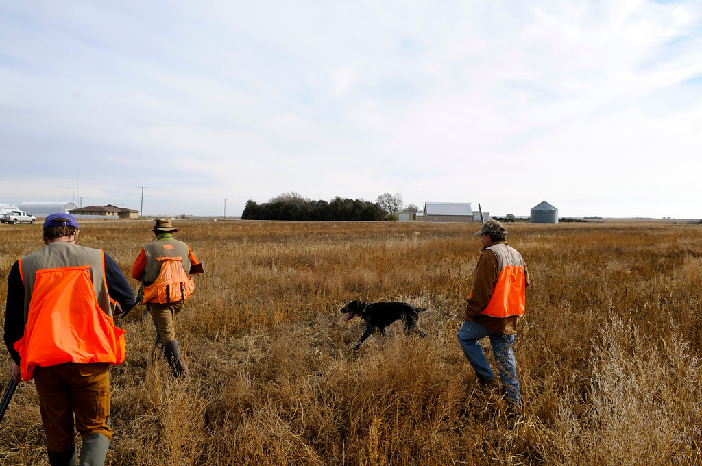 . After combing the field for pheasants, a group of hunters and their dog, Mambo, heads back to the truck on the 2013 opening weekend near Holyoke. Wetter conditions in 2013 have improved pheasant habitat from last season, but a bit too late for pheasant nesting in the spring. Scott Willoughby, The Denver Post
