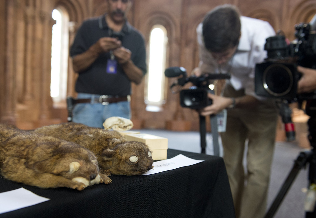 . Journalists film examples of the olinguito, the first carnivore animal species to be discovered in the American continents in 35 years, during a press conference announcing the discovery at the Smithsonian Institution in Washington, DC, August 15, 2013. AFP PHOTO / Saul LOEBSAUL LOEB/AFP/Getty Images