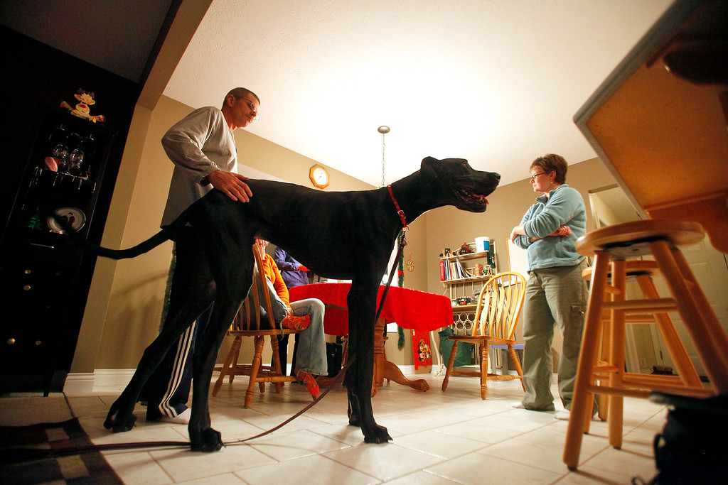 . In this photo taken on Sept. 9, 2010,  Kevin Doorlag, left, pets Zeus, then a two-year-old great dane, as Denise Doorlag, right, listens to Julie Wojtaszek, a dog trainer from Bark Busters Home Dog Training at their home in Ostego, Mich. Zeus, who held the title of world\'s tallest dog, died last week from old age, just two months short of his sixth birthday.  He was 44 inches tall at the shoulder and 7-feet, 4-inches on his hind legs. (AP Photo/Kalamazoo Gazette-MLive Media Group, Jonathon Gruenke)