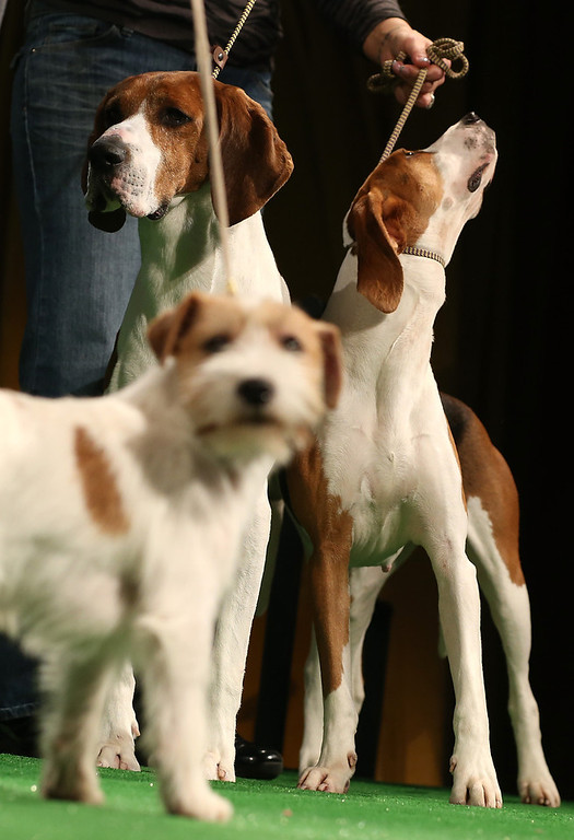. Xcetera and Meg (back), Treeing Walker Coonhounds, stand by a Russell Terrier (front) at a press conference kicking off the 137th Annual Westminster Kennel Club Dog Show on February 7, 2013 in New York City. This year\'s event will feature these two new breeds and will take place February 11 and 12.  (Photo by Mario Tama/Getty Images)