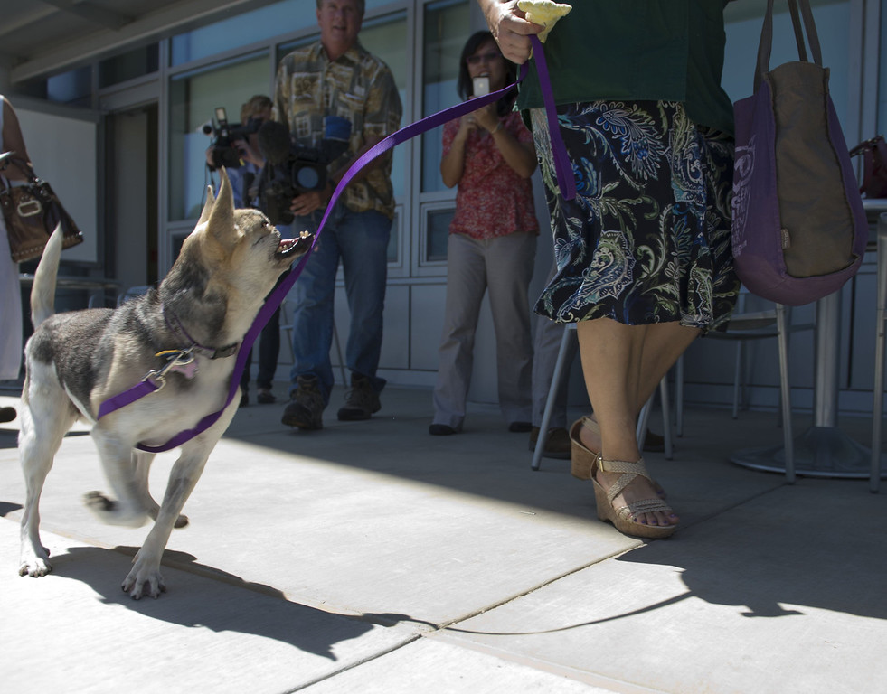 . Kabang, the hero dog from the Philippines, is shown after being released from the William R. Pritchard Veterinary Teaching Hospital on Monday, June 3, 2013, in Sacramento, California.  (Hector Amezcua/Sacramento Bee/MCT)
